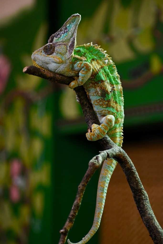 Lizard Reader